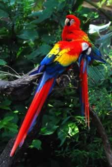 Scarlet Macaw - Lamar University