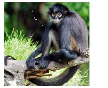 Spider Monkey - Lamar ...