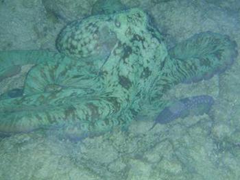 Caribbean Reef Octopus - Lamar University