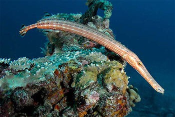 Image result for trumpet fish