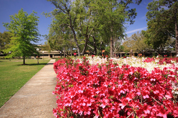 the spring azaleas blooming at lamar university